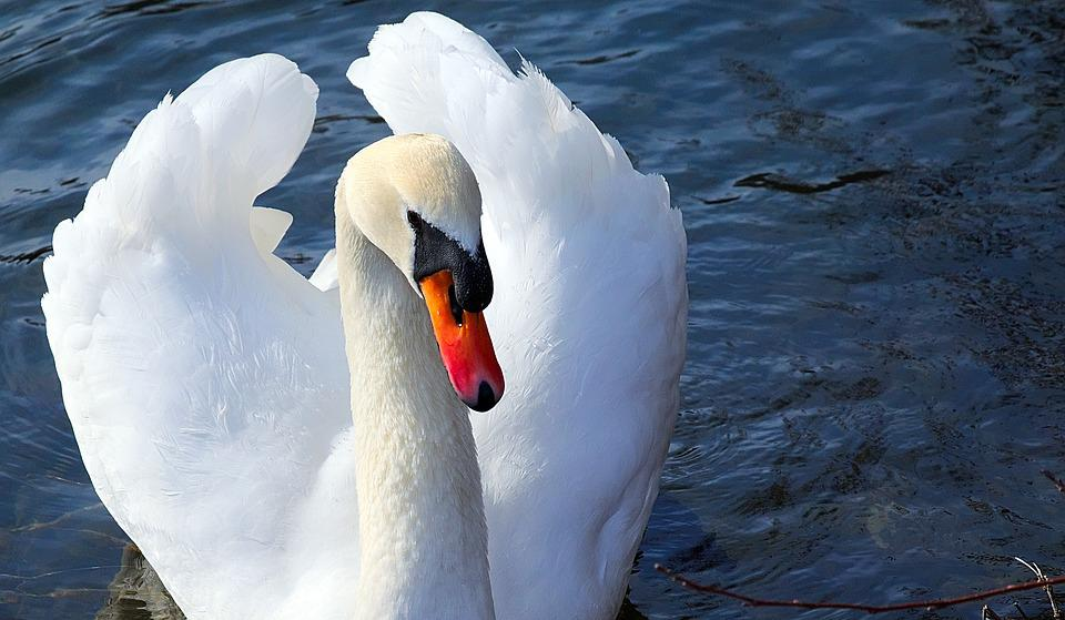 Swan, White, Close Up, Schwimmvogel, Plumage, Feather
