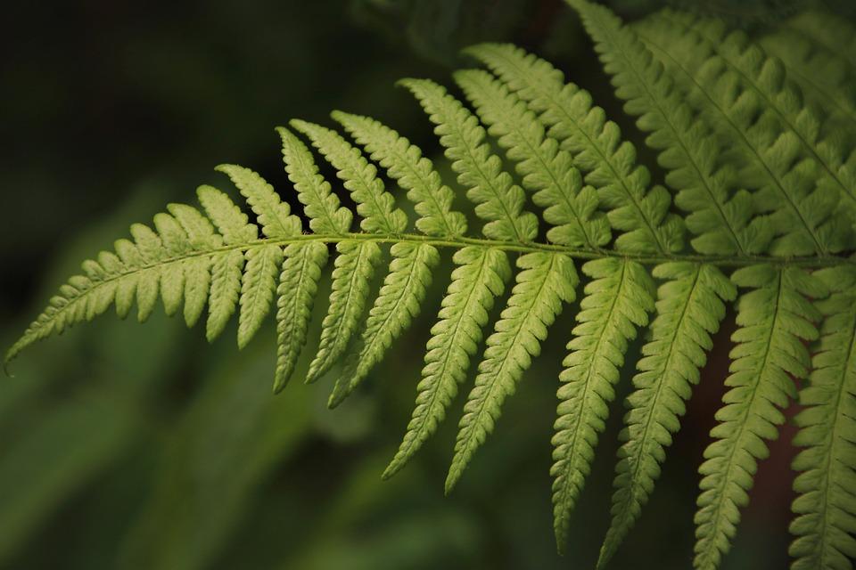 Fern, Green, Leaf, Ferns, Fresh, Close Up, Flora, Plant