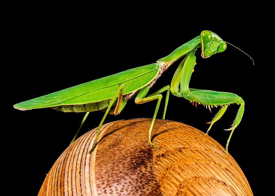 Praying Mantis, Fishing Locust, Green, Close Up
