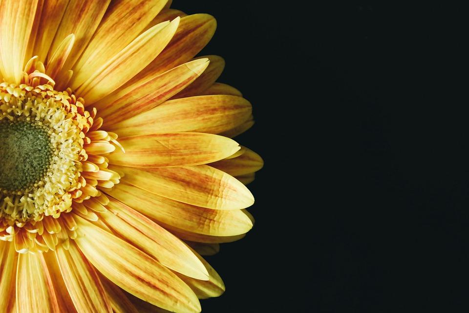 Sunflower, Blossom, Yellow, Flower, Black, Close Up
