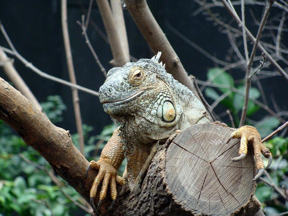 Iguana, Head, Close Up, Animals, Zoo, Vincennes, France