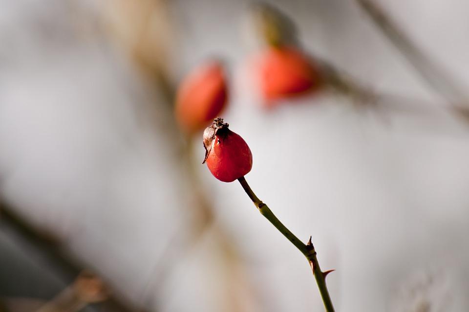 Rose Hip, Plant, Close Up, Red, Nature, Fruit, Bush