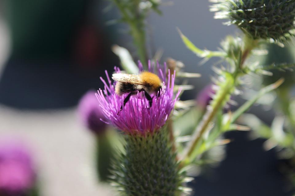 Hummel, Thistle, Close Up, Honey, Blossom, Bloom