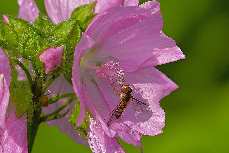 Blossom, Bloom, Hoverfly, Nature, Insect, Close Up