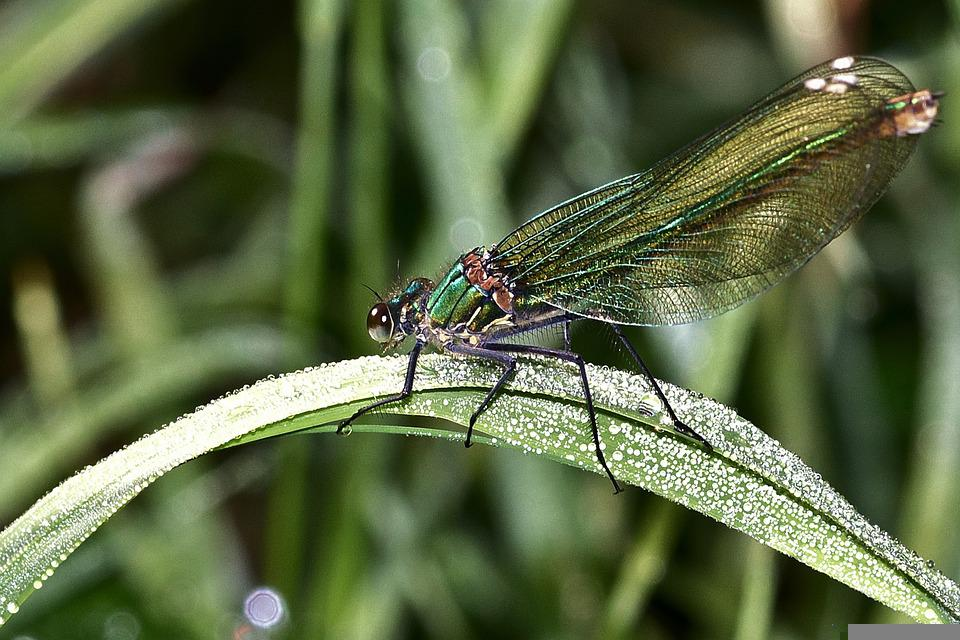 Dragonfly, Demoiselle, Insect, Wing, Close Up, Summer
