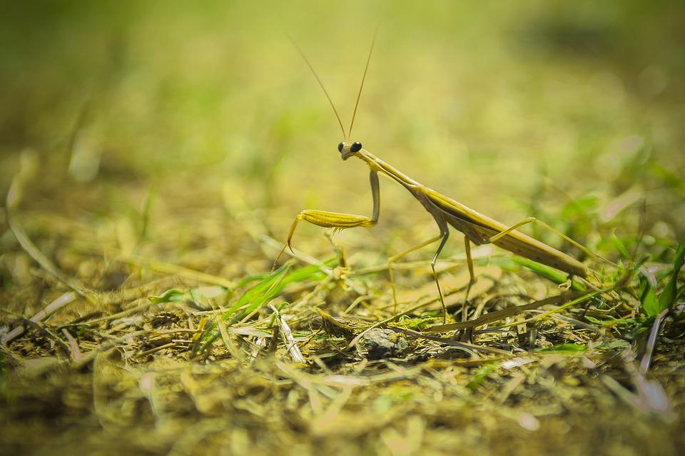 Praying Mantis, Insect, Macro, Mediterranean, Close Up