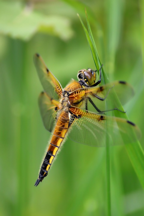 Dragonfly, Four Patch, Insect, Wing, Close Up, Nature