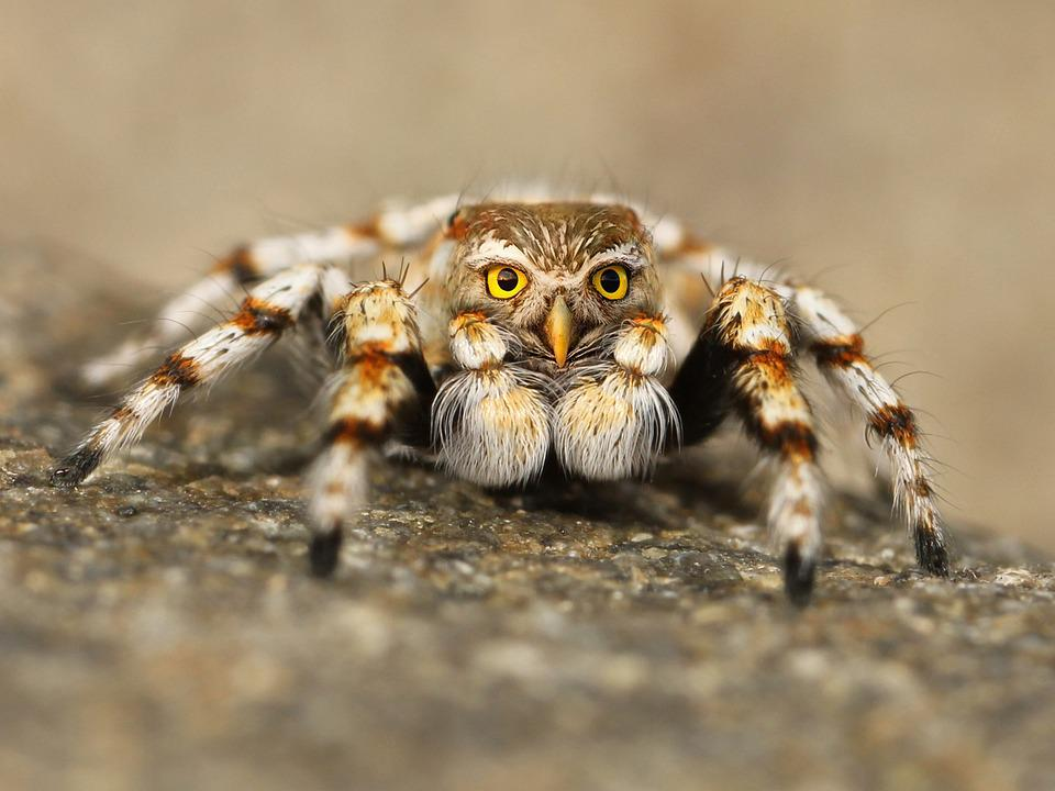 Speule, Spider, Jumping Spider, Tarantula, Close Up