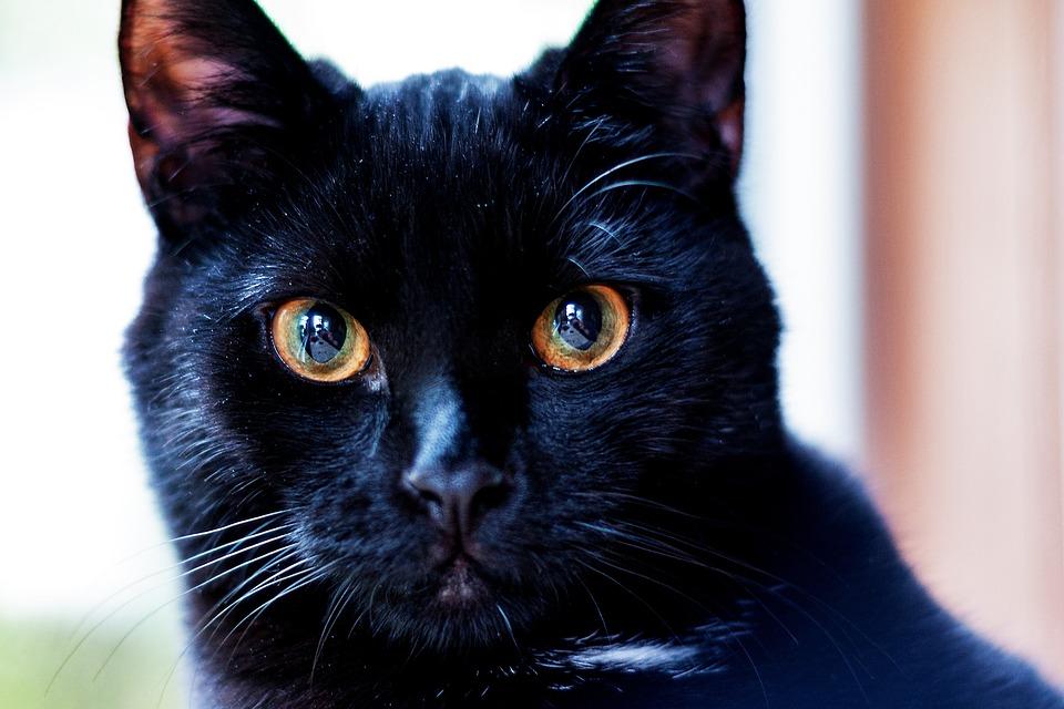 Cat, Black, Close Up, Macro, Pet, Animal, Kitten