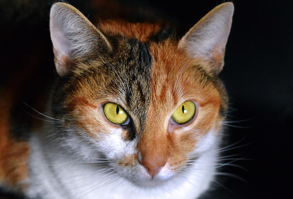 Cat, Multi Coloured, View, Close Up, Lucky Cat, Bibi