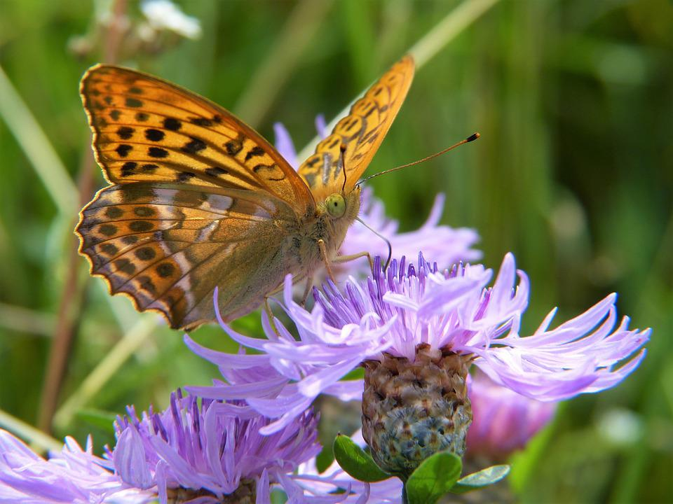 Butterfly, Fritillary, Close Up, Insect, Nature, Forest