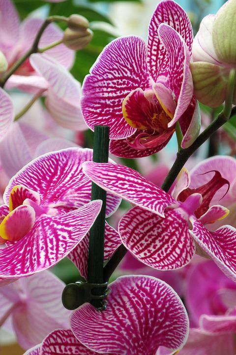 Orchid, Flower, Close Up