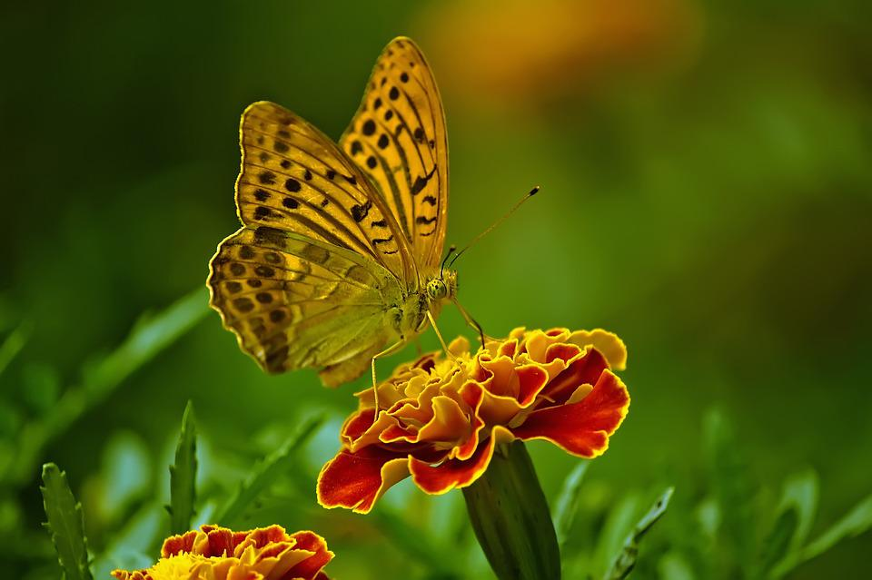 Butterfly, Nature, Flower, Insect, Close Up, Outdoor
