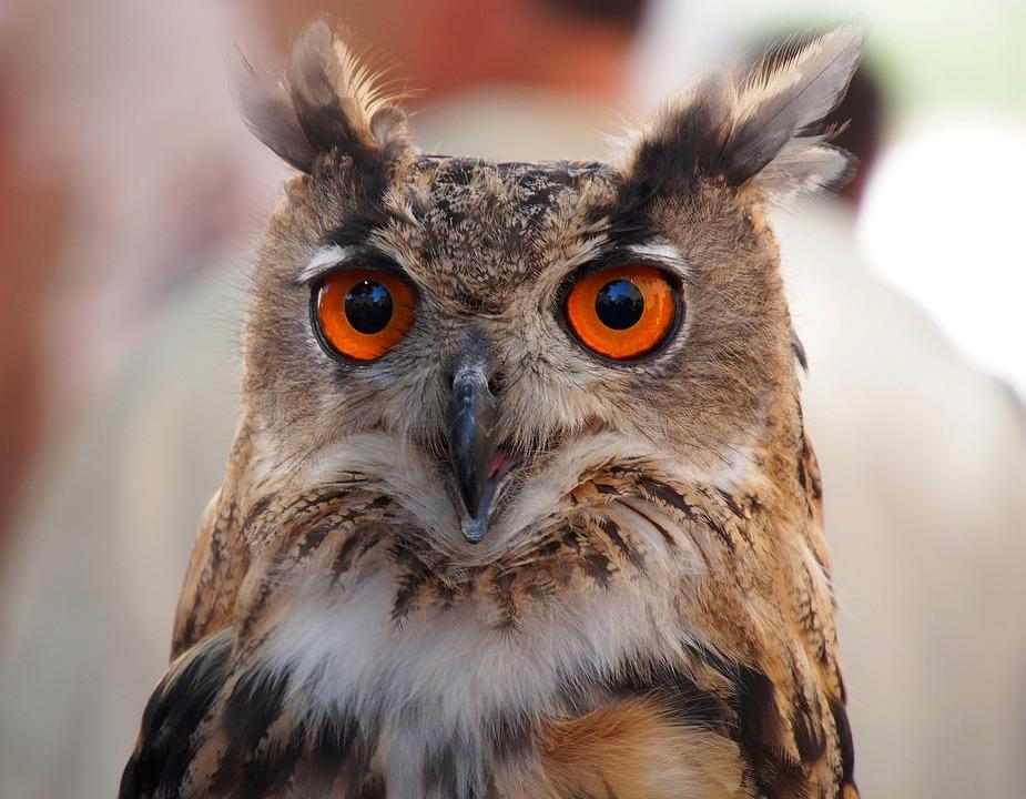 Birds, Owl, Eyes, Portrait, Close Up