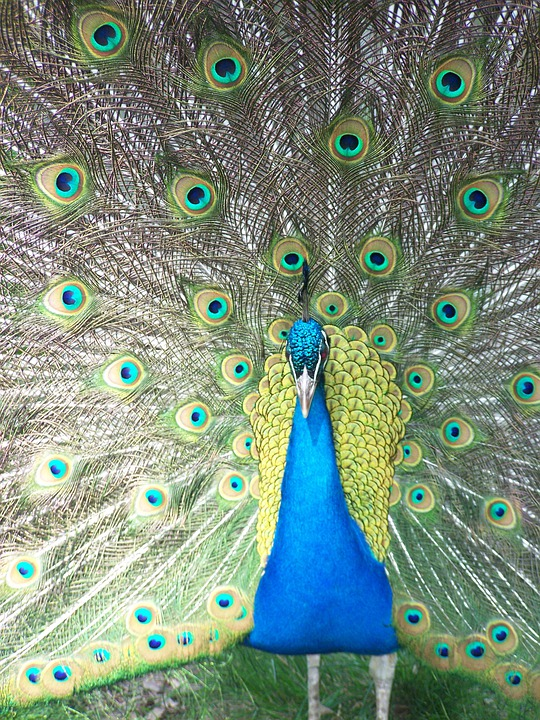 Peacock, Close Up