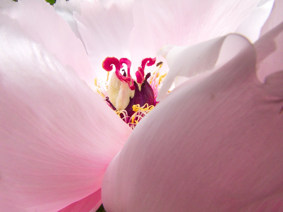 Blossom, Bloom, Flower, Close Up, Peony, Macro, Pink