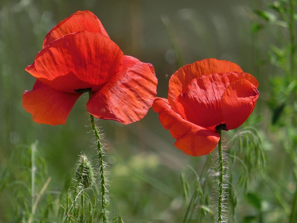 Poppy, Red, Close Up, Red Poppy
