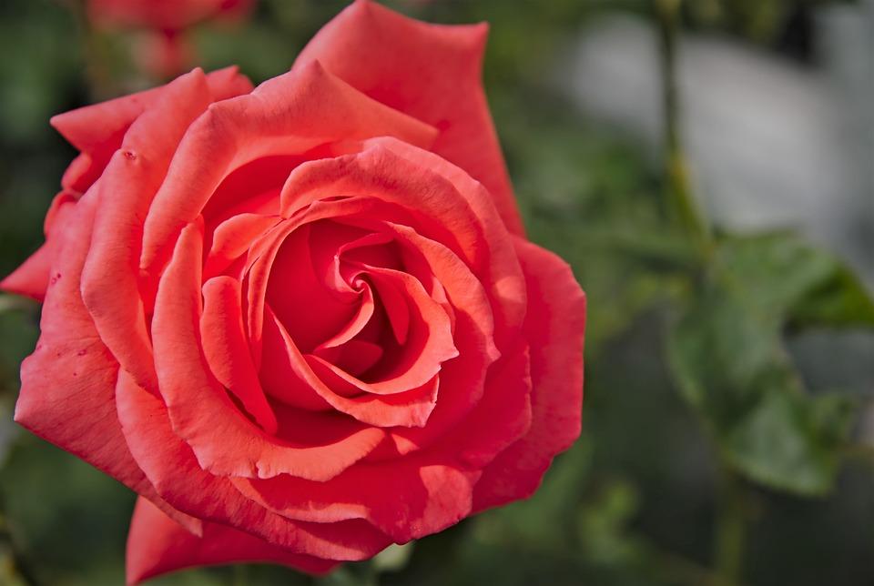 Rose, Red, Rose Bloom, Blossomed, June, Close Up