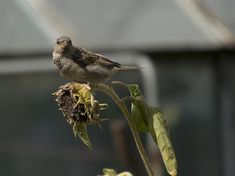 House Sparrow, Sparrow, Bird, Animal, Close Up, Species