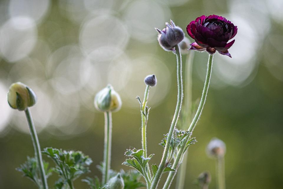 Ranunkeln, Flowers, Spring Flowers, Spring, Close Up