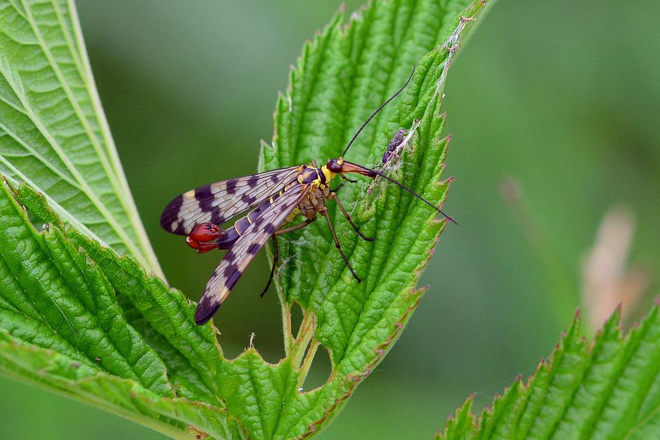Scorpion Fly, Insect, Meadow, Summer Meadow, Close Up