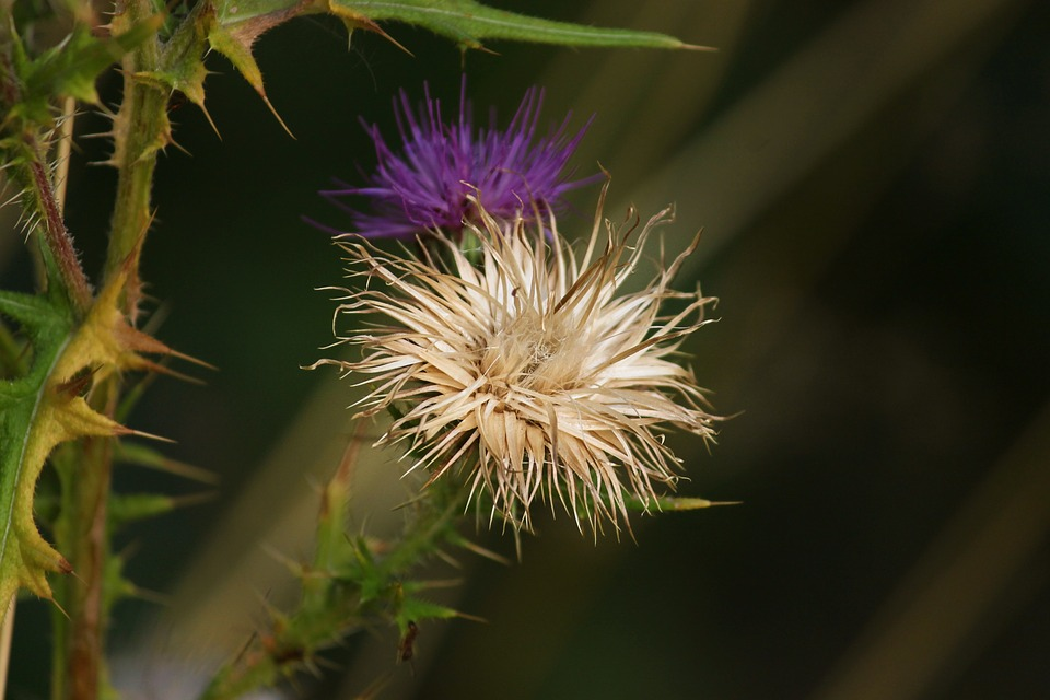 Thistle, Bloom, Faded, Nature, Close Up, Plant, Summer