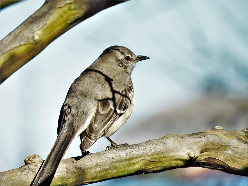 Bird, Mocking Bird, Close Up, Wildlife, Tree