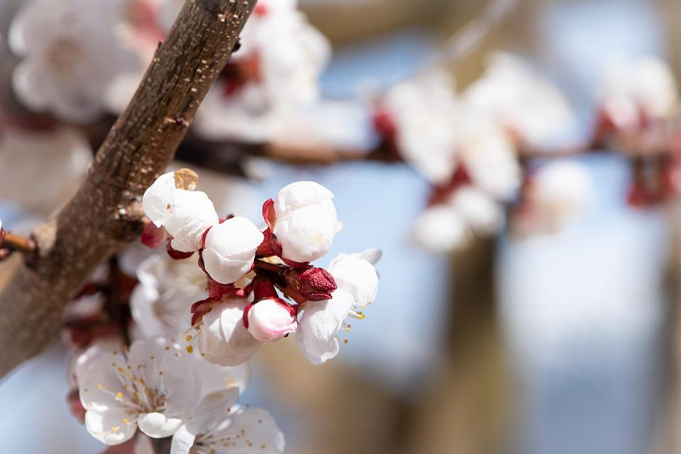 Flowers, White, Spring, Apricot Tree Flowers, Close Up