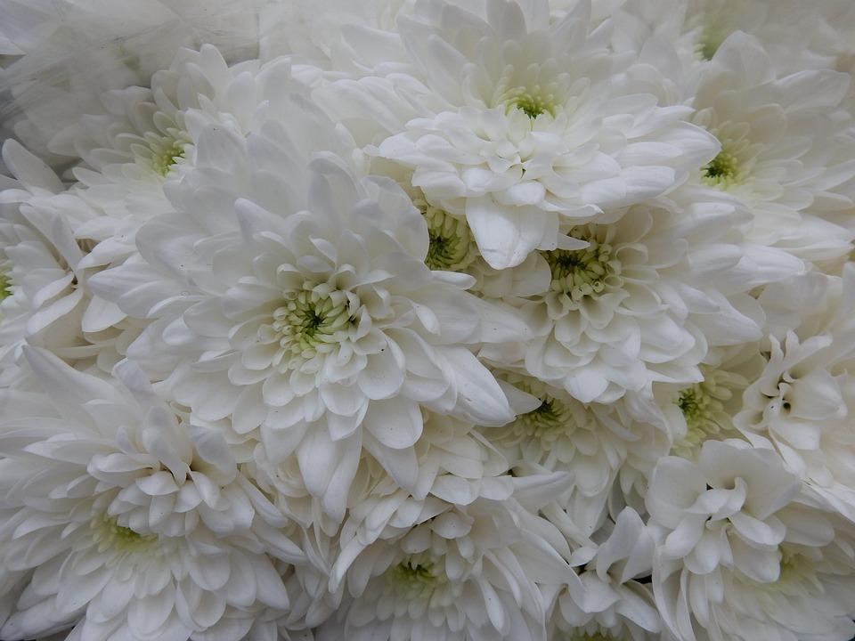 Close Up, Wallpaper, Flower, Chrysanthemum, White