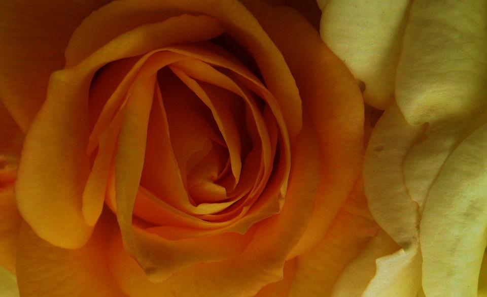 Roses, Orange, Yellow, Flowers, Petals, Close Up, Macro