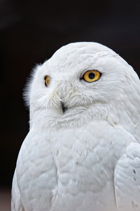Owl, Yellow Eyes, White, Bird, Close, Feather, Plumage