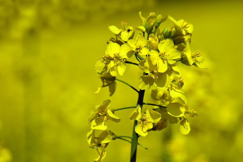Oilseed Rape, Rape Blossom, Yellow, Close, Macro