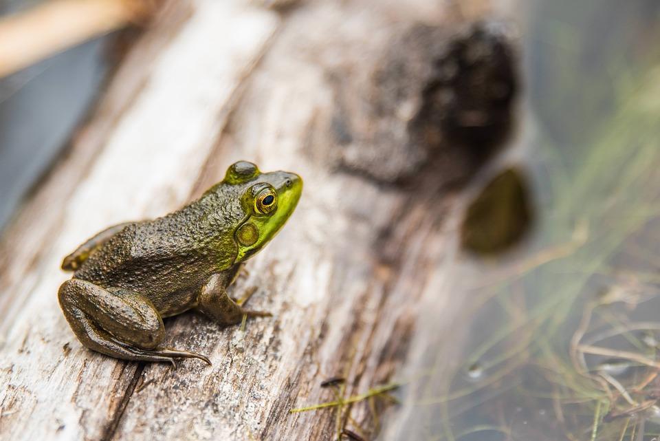 Amphibian, Animal, Close-up, Frog, Little, Log, Water