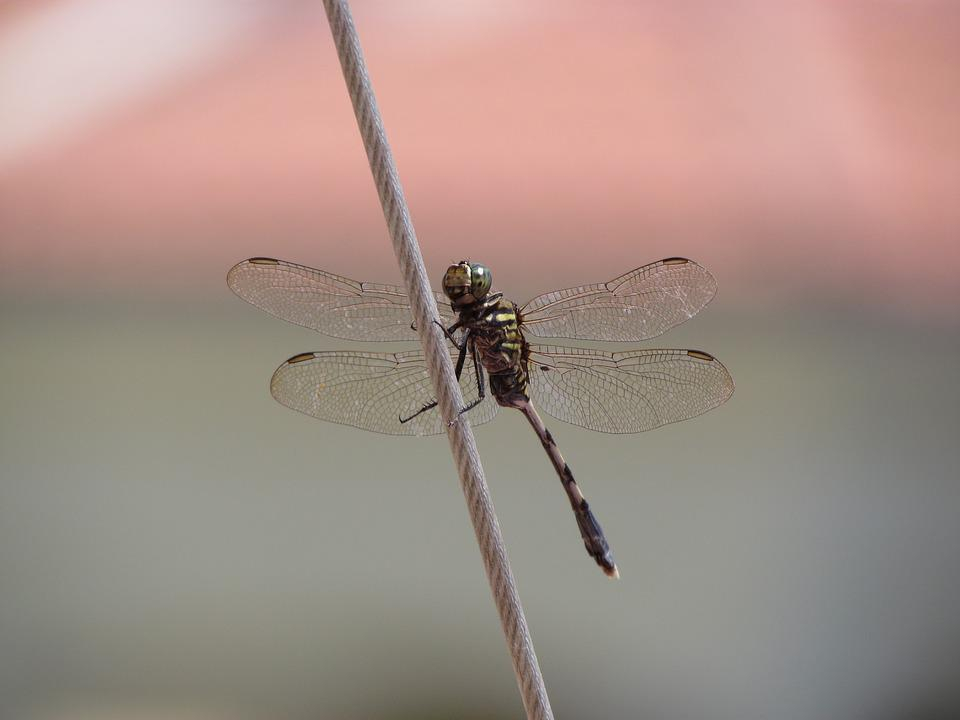 Dragonfly, Animal, Close-up