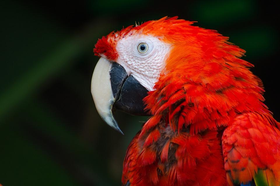 Animal, Bird, Close-up, Macaw, Nature, Parrot, Wildlife