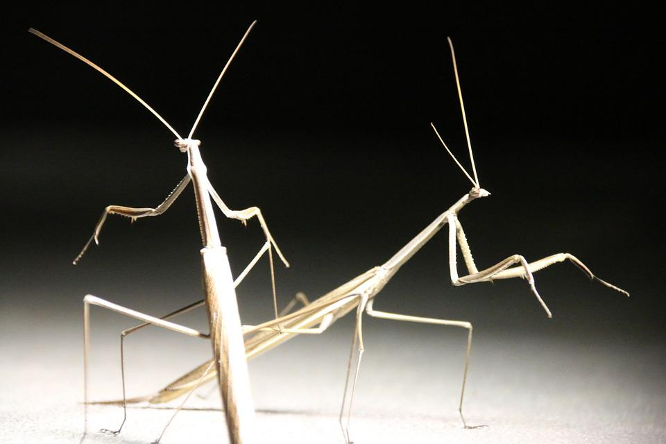Stick Insect, Insect, Close-up, Nature, Bug