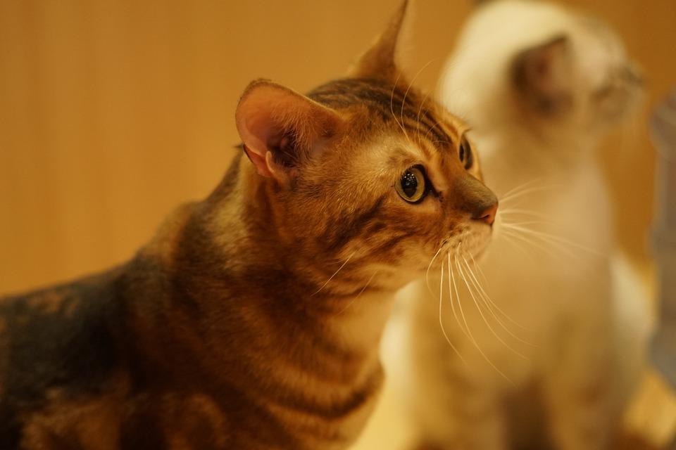 Cat, Animal, Cute, Close-up, Curious