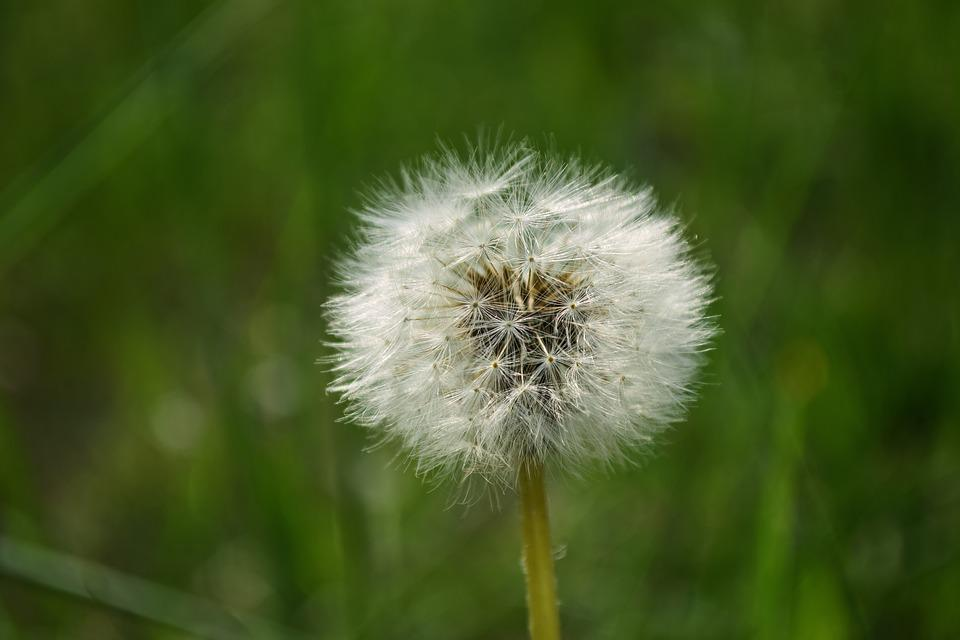 Close-up, Dandelion, Delicate, Downy, Environment