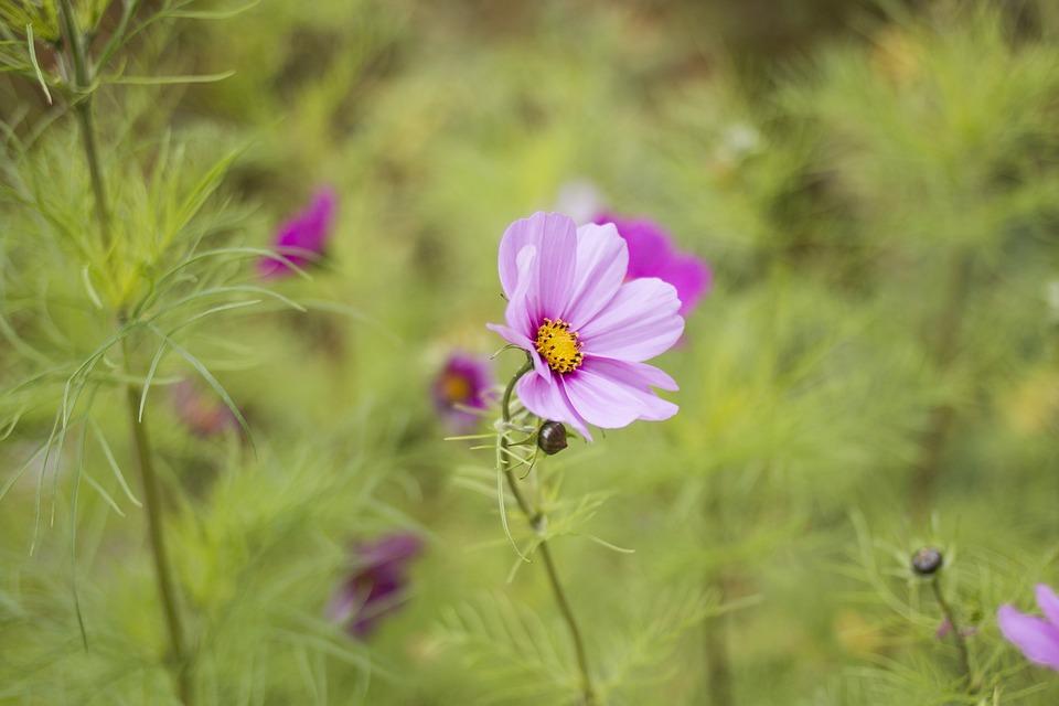 Flower, Pink, Close-up, Nature
