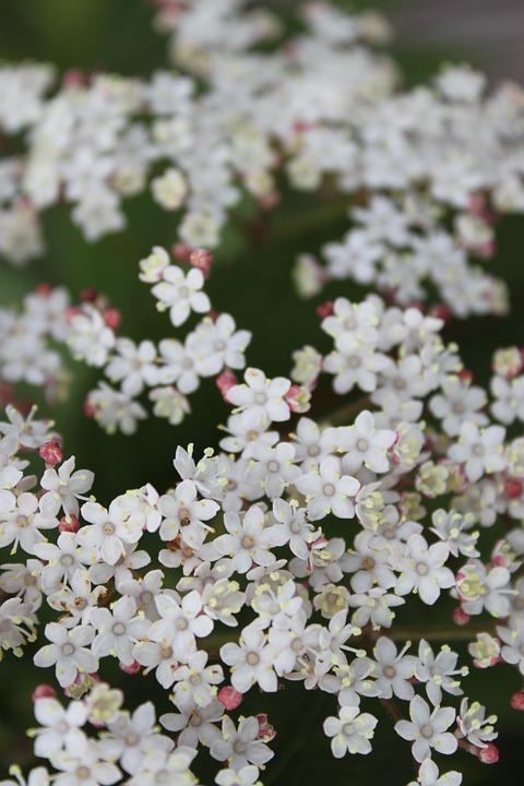 White, Flower, Close-up
