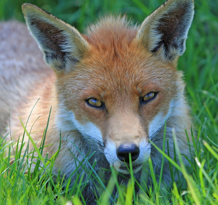 Fox, Red Fox, Red, Close-up, Face, Head, Eyes
