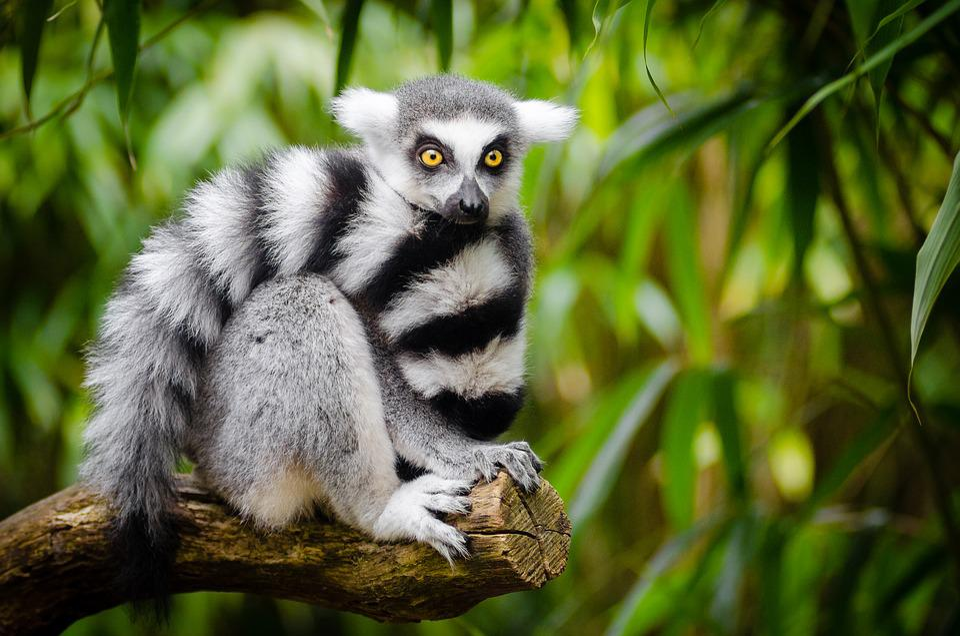 Animal, Lemur, Jungle, Blur, Close-up, Endangered