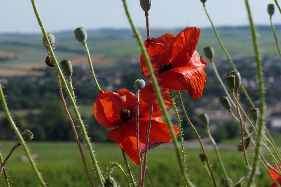 Chablis, Close-up, Poppies, Flowers, Poppy, Bloom