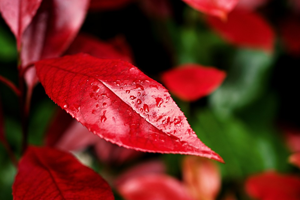 Red Robin Bush, Close-up, Plant Part, Red Plant