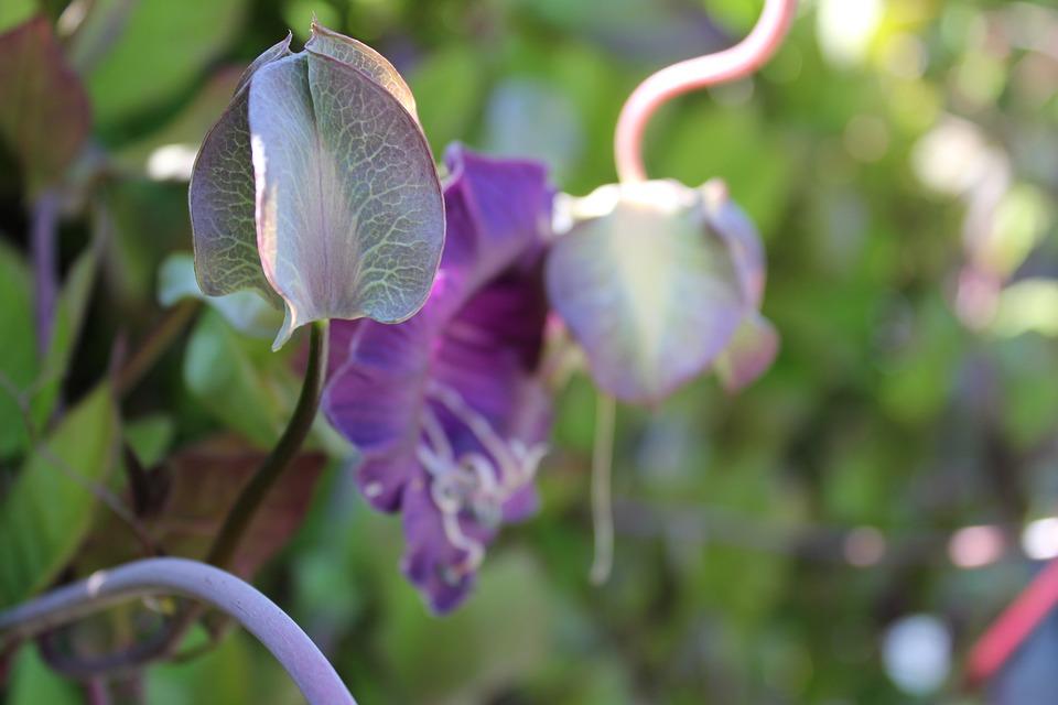 Bell Vine, Closed Flower, Close
