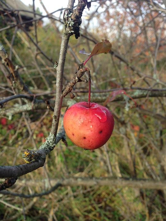 Apple, Branch, Fruit, Food, Appetizing, Garden, Closeup