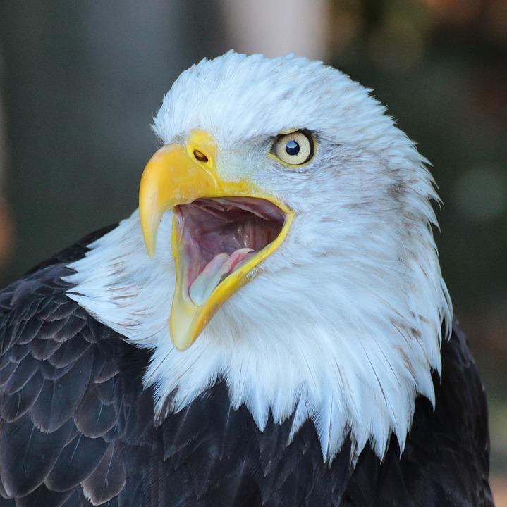Eagle, Bird, Closeup, Beak, Wild, Nature, Predator