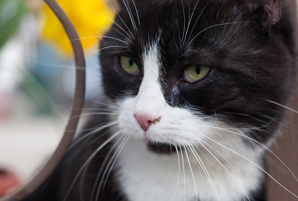 Domestic Cats, Closeup, Black And White
