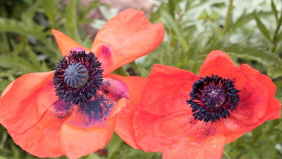 Flower, Plant, Nature, Closeup, Garden, Poppies