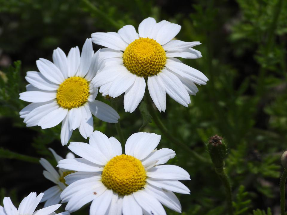 Chamomile, Polyana, Flowers, Nature, Flower, Closeup